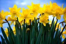 daffodils-jpg